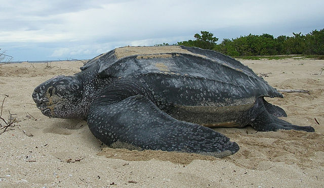"""Leatherback sea turtle Tinglar, USVI (5839996547)"" by U.S. Fish and Wildlife Service Southeast Region - Leatherback sea turtle/ Tinglar, USVIUploaded by AlbertHerring. Licensed under CC BY 2.0 via Wikimedia Commons."