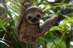 Sloths in Suriname