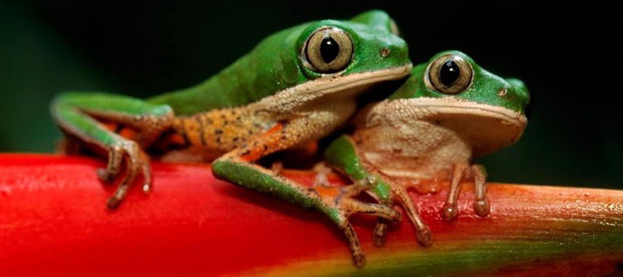 guyana-frog