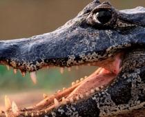 guyana-caiman