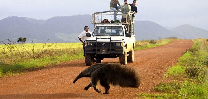 guyana-anteater