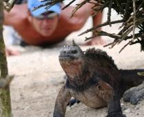 Iguana at Isabela Island
