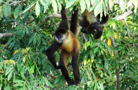 Spider Monkey on Isletas Lake Nicaragua, Granada