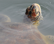 Turtles at Isle Royale